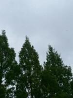 メタセコイア(曇り)